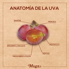 "El fruto de la vid se denomina uva. ¿Conoces de qué partes principales consta? #AprendeConMuga  The fruit of the vine is called grape. Do you know its ""anatomy""? #LearnWithMuga"