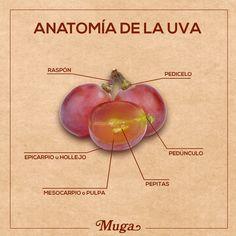 """El fruto de la vid se denomina uva. ¿Conoces de qué partes principales consta? #AprendeConMuga The fruit of the vine is called grape. Do you know its """"anatomy""""? #LearnWithMuga"""