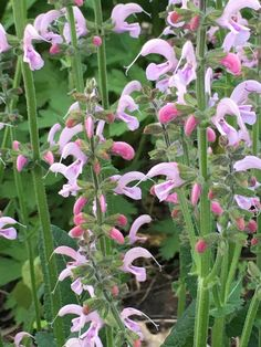 Salvia 'Eveline' (ornamental sage) - front garden, back of left side May Garden, Violet Garden, Garden Pictures, White Gardens, Salvia, Border Design, Color Mixing, Sage, Colour