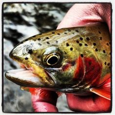 Appalachian Wanderings, trout, fly fishing, trout bum,