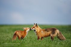 Red fox father and kit