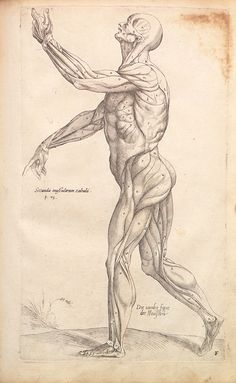 vesalius, anatomical drawing