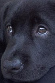 Black Lab. Soulful moment.