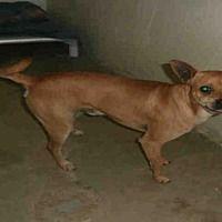 Naples, Florida - Chihuahua. Meet COLT, a for adoption. https://www.adoptapet.com/pet/21457583-naples-florida-chihuahua-mix