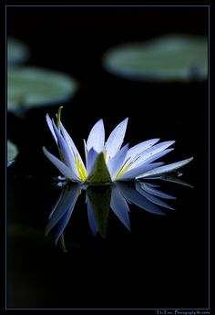 Blue water lily by Thomas Totz (Beautiful Water Lily Pictures)