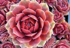 Red-Rubin-Hens-Chicks-Sempervivum-Very-Hardy-4-Pot