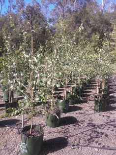 Betula Nigra Betula Nigra, Garden, Plants, Garten, Lawn And Garden, Gardens, Plant, Gardening, Outdoor