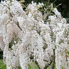 Moon garden - white wisteria Stunningly beautiful in the moon light