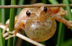 Spring Peepers Photos