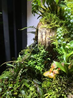 Vivarium terrarium on pinterest vivarium java and dutch - Begonia argentata ...