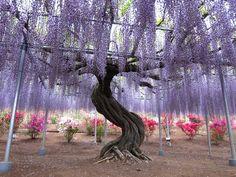 Kawachi Fuji Garden - I can't help but post these pics.