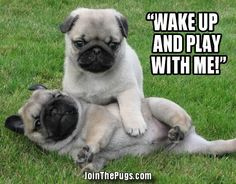 Pug Nap Interrupted > Join The Pugs