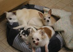 We are Peetey, Echo, Pixie and Mr Beans, and our Mommy rescued all of us too! I, Peetey, (here in the back) am the oldest and speak for the group…I will be 18 next month! Guess what? My little brother, Mr Beans, with the tongue sticking out is special, too…he had to have his back leg taken off, so now he only has three! We love you, Rosie and Miss Cinnamon, too!