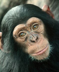 Cute little chimpanzee! Cute Funny Animals, Cute Baby Animals, Animals And Pets, Strange Animals, Los Primates, Baby Chimpanzee, Types Of Monkeys, African Grey Parrot, Animal Faces