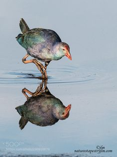 Swamp hen Taking A Step ! by judylynn Indian Art Paintings, Wildlife Photography, Safari, Turtle, The Past, Take That, Birds, Pets, Nature