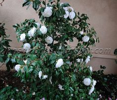A Rose is a Rose...: Camellias - The Stars of Winter