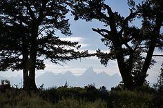 Wedding Tree - Jackson Hole, WY
