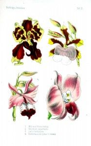 Botanical - Flower - Orchids - pink and red
