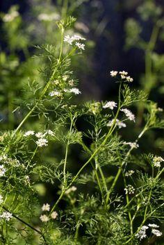Vom Koriander werden in Südamerika, Asien und Afrika die Blätter und in Mitteleuropa die Samen zum Würzen verwendet. Die Samen haben schwach blähungslindernde Wirkung.