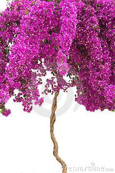 Purple Bougainvillea Tree WOW!!