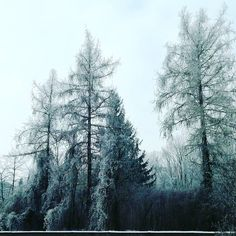 Winter January 2017.. Frozen trees