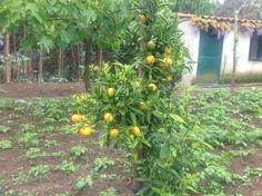 Batatas e laranjas...