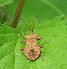 squash bug trap - just place newspaper or cardboard around the infested plants and in the morning, they'll be collected together in groups underneath to pick up and drop into soapy water.  I'll be getting Brad to do this.