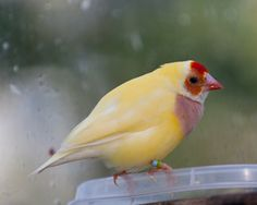 "#Capturethecolourcontest  Mark Gerald Fagan  ""Gouldian Finch"""