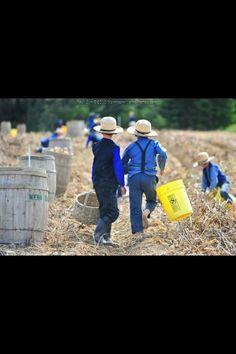 Northern Maine Amish - harvesting potatoes