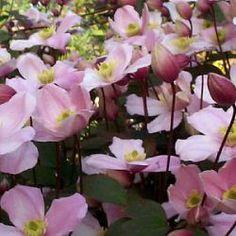 klimmende, bodembedekkende en vaste-plant Clematis
