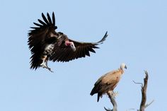 Lappet-faced Vulture about to land on a White-backed Vulture | by Peet van Schalkwyk