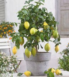 Minisitruuna Lemon Tree Plants, Trees To Plant, Container Plants, Container Gardening, Lemon Head, Patio Plants, Perfect Plants, Plantation, Flower Photos