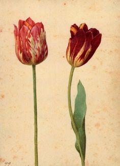 Tulips are here again (A few days more…): 'Two Tulips III' - Georg Flegel.