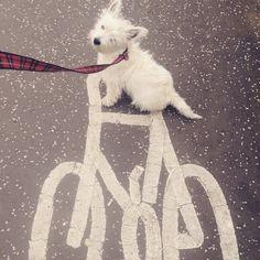 My wee west highland terrier Alfie