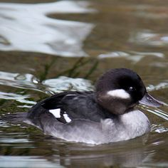 Bufflehead Duck - Female. We had one in our pond this morning. Adorable!