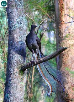Superb Lyrebird/Weringerong/Woorail (Menura novaehollandiae)(Menuridae) IUCN Red List 3.1: Least Concern (LC)