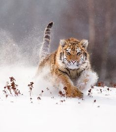 "beautiful-wildlife: ""Siberian Tiger by © Jan Pelcman """