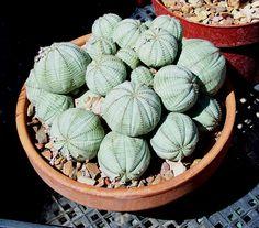 "baseball plant | Euphorbia obesa ""Baseball Plant"""
