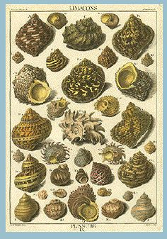 This weekend felt more like of July then Memorial day. I thought I would revisit one my favorite sources for antique prints. Rock Pools, Shell Art, Art Studies, Antique Prints, Botanical Prints, Beach Day, Natural History, Vintage Designs, Sea Shells