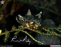 Crystal nudibranch  in Melasti - Bali
