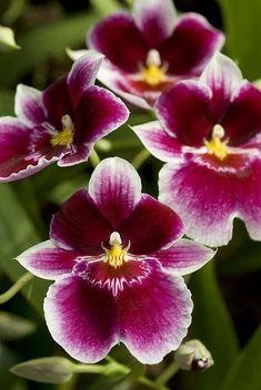 Miltoniopsis Hajime Ono Orchid