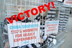 Victory! China Southern Airlines Ends Shipments of Primates to Labs