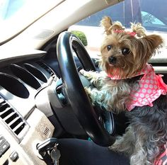 Although sometimes they're so independent it's scary.   21 Reasons Why You Should Never Own A Yorkshire Terrier