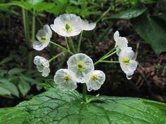fleur-transparente-eau-3
