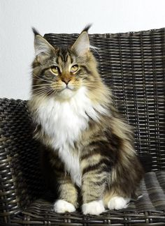 http://www.mainecoonguide.com/maine-coon-vs-norwegian-forest-cat/