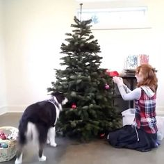 Very good boy helps decorate Christmas tree...