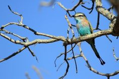 Special Birds / Racket-tailed Roller / Shamvura, Northern Namibia