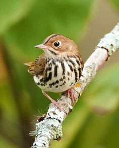 Ovenbird (Seiurus aurocapillus), probably the oldest genus of the New World warblers. Breeds in NE U.S., winters southward as far as n. Venezuela.
