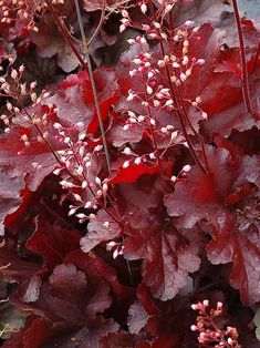 Make a statement in your garden with the dazzling foliage color, texture and shapes Heuchera perennials provide. Shop for your plants from Bluestone Perennials. Bright Flowers, Purple Flowers, White Flowers, Pretty Flowers, Shade Perennials, Flowers Perennials, Coral Bells Heuchera, Forever Red, Border Plants