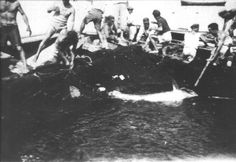Il primo tonno viene portato a bordo delle barche.